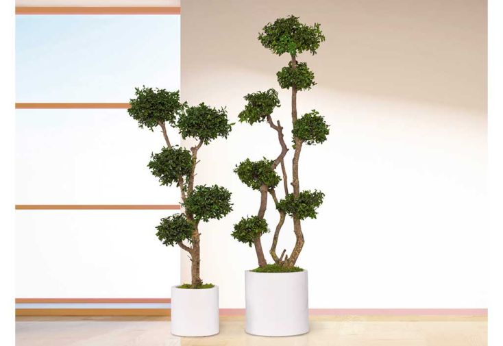 Arbre Stabilisé Tenuifolium Sphères Greenmood Arbustes d'Intérieur Plantes Stabilisées