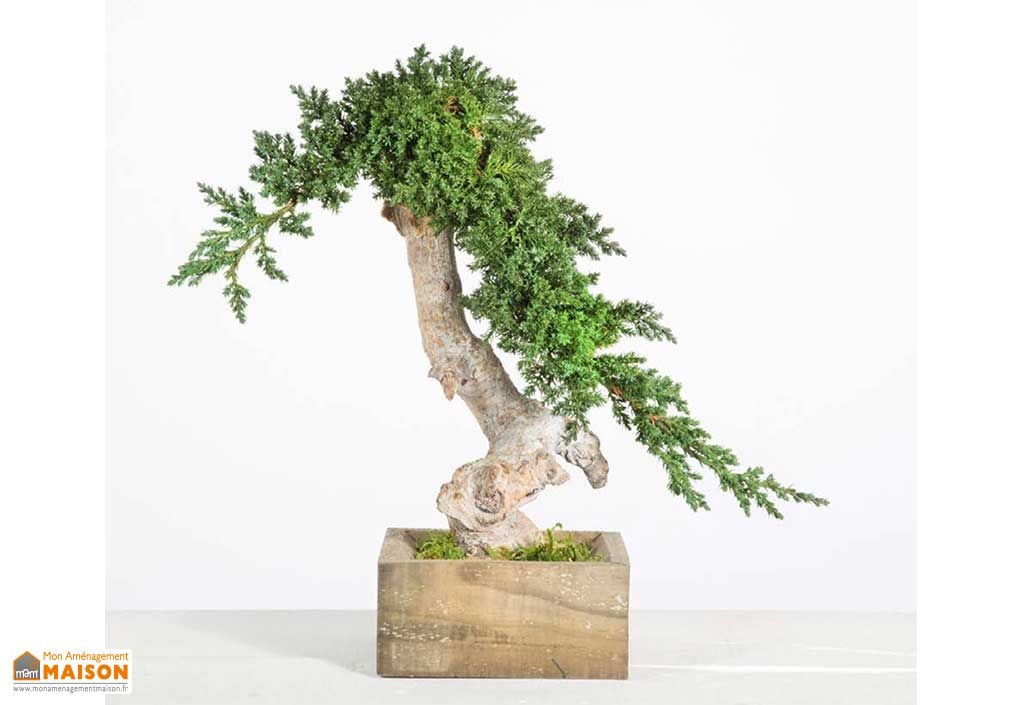Arbre Bonsaï Stabilisé Greenmood Plante Stabilisée